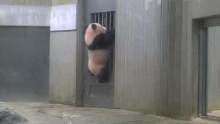 熊猫宝宝好可爱打瞌睡还从门上掉了下来