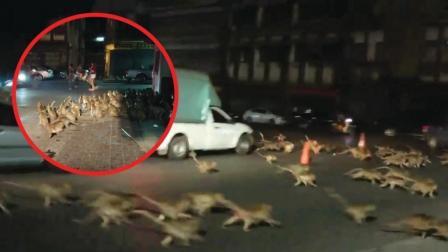 猪头传媒 2017 12月 泰国景区放烟花 数百只猴子恐慌奔逃进市区场面喜感