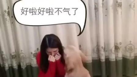 金毛不听话, 女主人生气惩罚自己, 接着狗狗的表现暖哭了