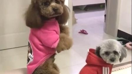 泰迪带着妹妹把邻居家的狗给打了, 回来被主人罚站, 泰迪表情亮了