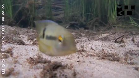 7天造景 委内瑞拉河流里喂鱼