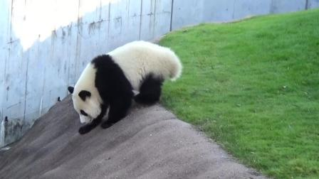 熊猫小心翼翼的爬坡 样子很萌的
