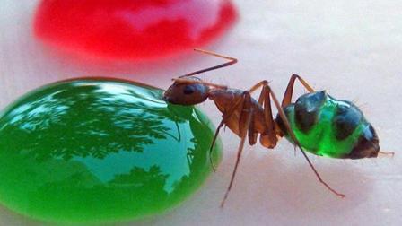 蚂蚁吃糖水, 看看有多神奇
