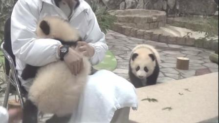 饲养员为熊猫宝宝按摩肚子 小家伙顽强抵抗 姐妹闻讯后匆匆赶来