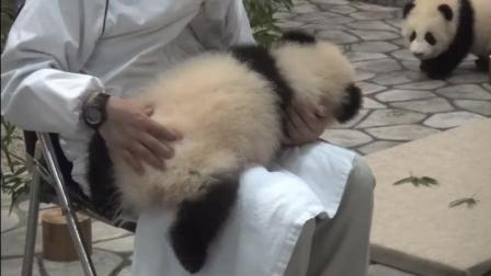 宠物医生给熊猫宝宝做体检熊猫宝宝不配合
