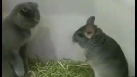 搞笑动物: 猫一爪子拍的老鼠都懵了, 笑得人肚子