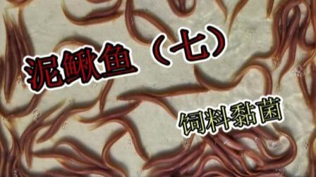 洄水王老师 观赏鱼 热带鱼 繁殖 技术 泥鳅鱼7 轮虫黏菌