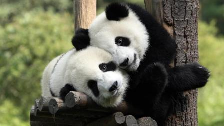 两只可爱的熊猫宝宝玩摔跤