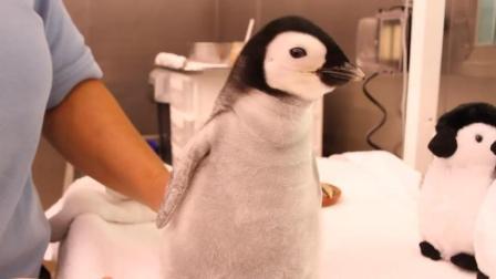 养了一只小企鹅当宠物好萌的说