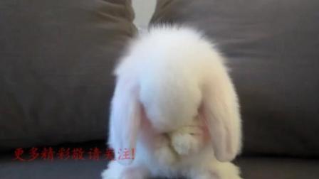 超萌的小兔兔在给自己洗脸呢