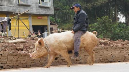 农民爷爷骑猪30年, 法拉利也不换, 回头率百分之百