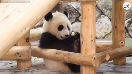 熊猫宝宝在很认真的吃东西呢