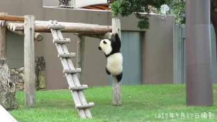 熊猫宝宝走平衡木真厉害啊