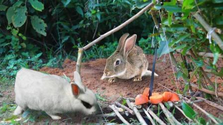 深山有野兔出没, 农村小伙布置机关捕捉, 野兔来一只抓一只!