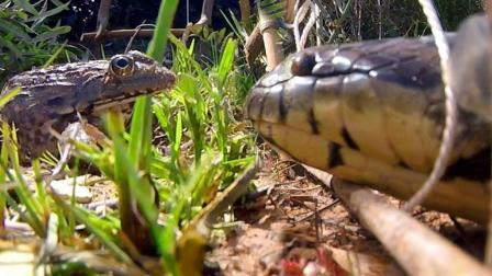 野外捕蛇, 农村小哥在灌木丛设机关, 放只青蛙, 大蛇立马上当!