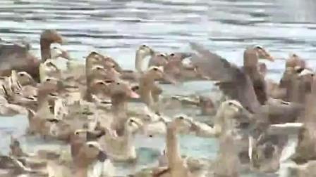 致富经: 小伙养殖鸭子的方法独一无二, 成了全村的致富带头人
