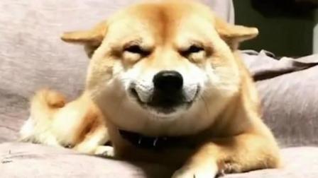 全网最红柴犬, 这个微笑真是暖到心里了