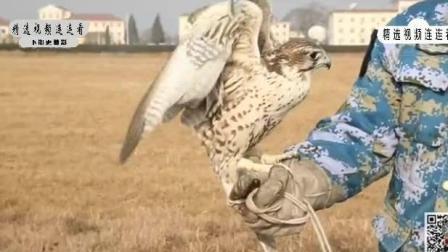 部队唯一的训鹰员就要退伍了, 最后一次盘飞却出现了意外