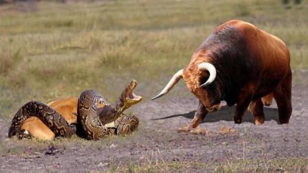 实拍: 巨蟒野外袭击小牛, 母牛疯狂扑向巨蟒, 看得我心都蹦出来了