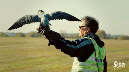 揭秘机场训鹰人,延用千年训鹰谜术训练老鹰驱逐其他鸟类,保障飞行安全