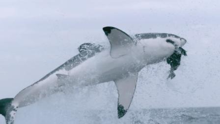 大白鲨破坏——捕猎小能手