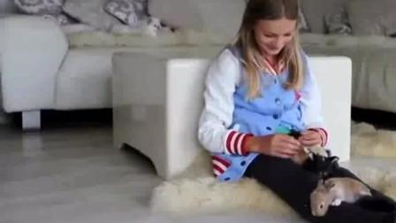 小动物就喜欢趴在女主人的腿上, 太有趣了
