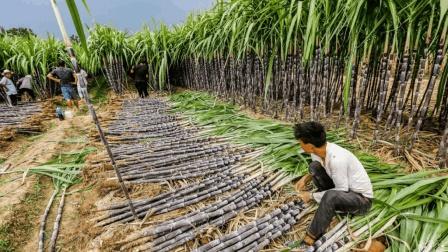 美洲仅有的社会主义国家, 全国一半耕地种植甘蔗, 被称为糖都