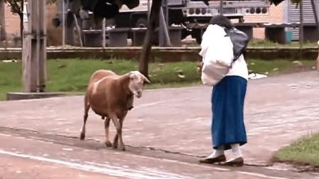 一只羊干翻一群人, 手机拍下这尴尬一刻, 全程爆笑!