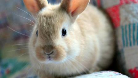 家里养了一只萌萌的小兔子超可爱的