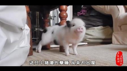 爆笑神曲《一只快乐的猪》别人遛狗我遛猪