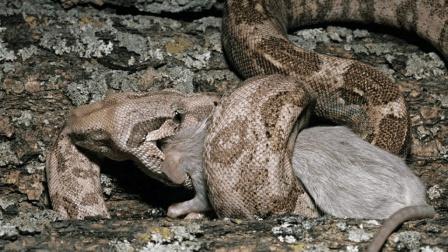 巨蟒把老鼠活活吞进肚子里, 结果悲剧了, 老鼠在里面大闹天宫