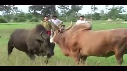 云南民间斗牛 黄牛打架非常猛 打斗异常激烈