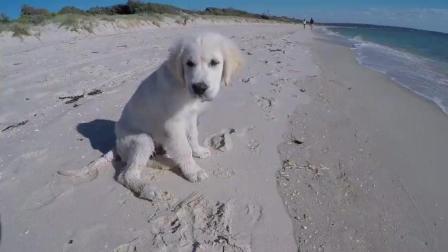 小狗狗在海边玩的好开心啊海浪打来还害怕了