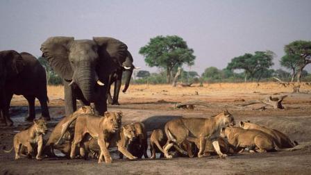 大象单挑狮群, 动物间生死大作战看得我热血沸腾