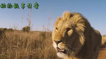 """百兽之王与人, 非洲""""大猫""""成长记"""