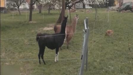 各种动物触电搞笑瞬间, 最后一个亮眼了!