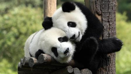 熊猫宝宝坐自己凳子上好自在