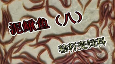 洄水王老师 观赏鱼 热带鱼 繁殖 技术 泥鳅鱼8