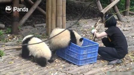 萌萌的熊猫对蓝色的篮子是超级的喜欢啊