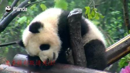 熊猫宝宝玩着玩着都能睡着太可爱了