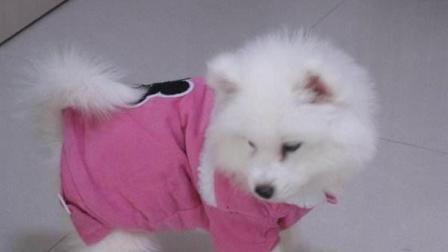 萌宠-萨摩耶犬 给我一只萌萌哒的宠物狗 我能玩上一整天