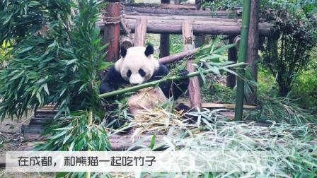 西安女娃在成都不吃火锅, 却和熊猫一起吃竹子