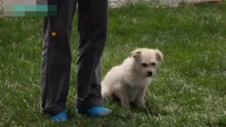 柴犬怎么样训练 边牧怎么训练大小便 怎么训练格力犬咬狗