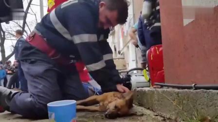 在狗狗奄奄一息的时候, 消防员用人工呼吸救治狗狗, 看完让人暖心!