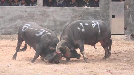 贵州斗牛大赛, 你跑我追  你退我进, 逮着机会就不会放过你
