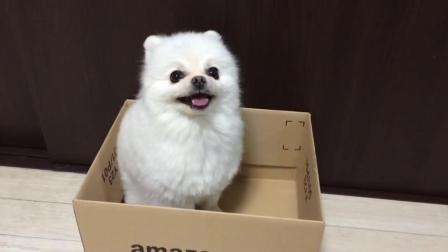 萌萌的小博美喜欢呆在箱子里