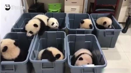 盒子里全是熊猫宝宝小饭团太可爱了