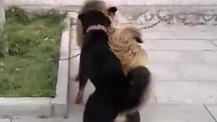 藏獒看到中华田园犬就挑衅冲上去开咬 结果大败而归