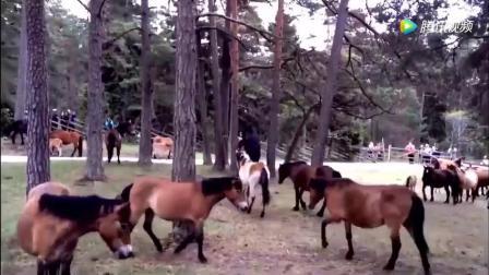 主人给马配种, 让公马进目马圈肆意挑选