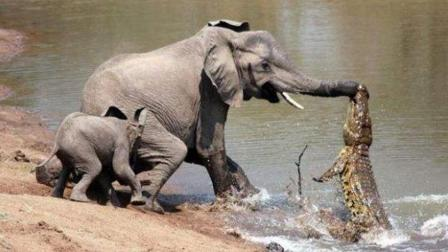 硕大的大象差点被拖下水, 这条鳄鱼胆真肥